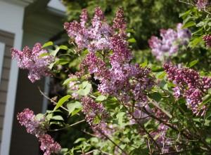 Purple lilac blossoms