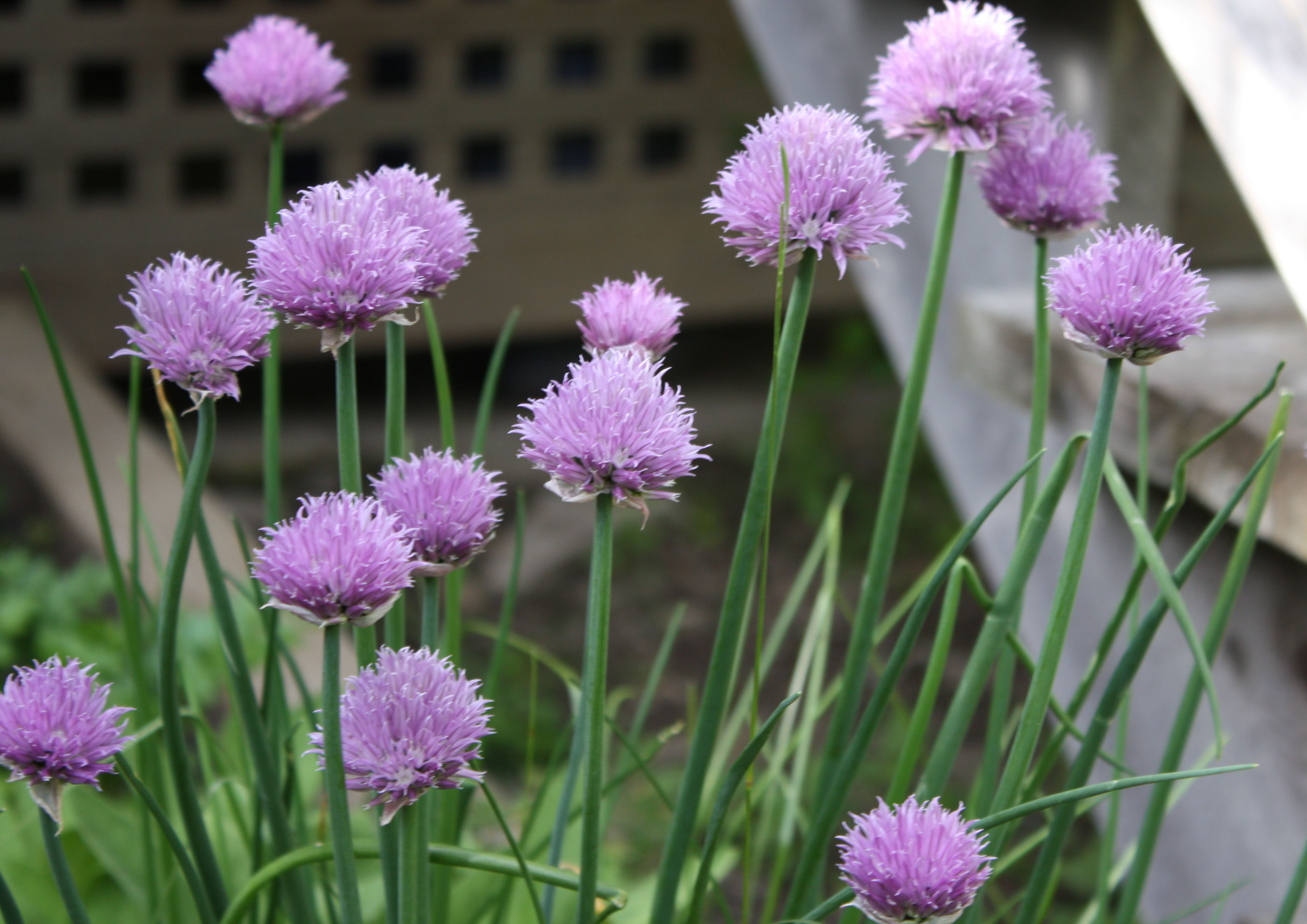 chive-blossoms