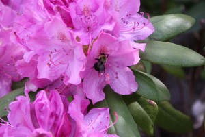 A bumble bee visits the rhododendron