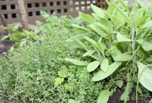 Mounds of sage and thyme