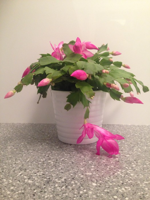 Christmas cactus in full bloom